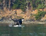 Orca male Mike  breaching