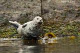 Harbor Seal at low tide