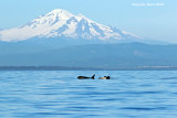 Evening with Mount Baker and  Orca's at play