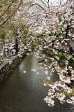 Sakura in Kyoto @f8 D700