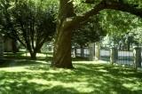 Catalpa tree @f5.6 A12