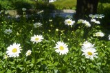 Asters @f5.6 A12