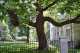 Catalpa tree @f8 A12