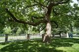 Catalpa tree @f11 A12