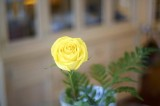 A yellow rose @f1.4 A12