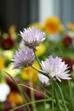 Flowers of chive @f8 D800E