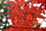 Acer japonica @f8 macro LT+NEX5