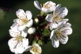 Cherry flowers Fuji chrome