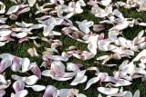 Magnolia petals Fuji Chrome