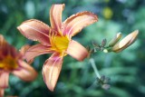 Day Lily @f2.8 a7