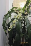 Flowers of Dracaena Fragrance