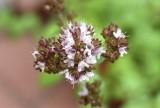 Oregano's flower Reala