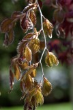Copper birch new shoots Reala