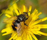 Tachinids of Sweden, Parasitflugor