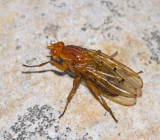 Neuroctena anilis, Buskflugor - Dryomyzidae.jpg