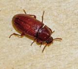 Swedish Darkling Beetles, Svartbaggar (Tenebrionidae)
