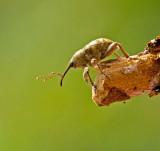 Swedish Weevils, Vivlar (Curculionidae)