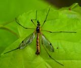 Craneflies, Storharkrankar (Tipulidae)