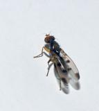 Geomyza tripunctata.jpg