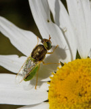 Odontomyia angulata 2.jpg