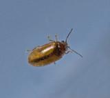 Cyphon variabilis Scirtidae mjukbaggar.jpg