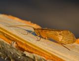 Swedish Caddisflies, Nattsländor (Trichoptera)