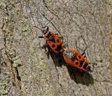 Firebug, Eldlus (Pyrrhocoris apterus).jpg