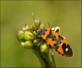 Swedish Groundbugs, Fröskinnbaggar (Lygaeinae)
