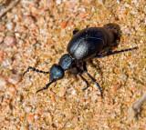 Black Oil Beetle, Svart majbagge  (Meloe proscarabaeus).jpg