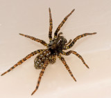 SWEDISH SPIDERS (Arachnida) and HARVESTMEN