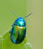Swedish Leaf Beetles, Bladbaggar (Chrysomelidae)