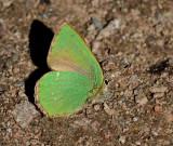 Green Hairstreak, Grönsnabbvinge   (Callophrys rubi).jpg