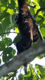 White-handed Gibbon, Huai Kha Khaeng