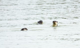 MUSTELID - OTTER - SMOOTH-COATED OTTER - KOK KHAM MACHACHAI - SALT PONDS - NEAR BANGKOK THAILAND (3).JPG