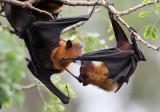 CHIROPTERA - LYLE'S FLYING FOX - PTEROPUS LYLEI - WAT THA SUNG TAKSINARAM - BANG SAI AYUTHAYA PROVINCE THAILAND (32).JPG