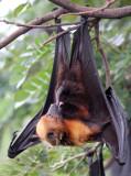 CHIROPTERA - LYLE'S FLYING FOX - PTEROPUS LYLEI - WAT THA SUNG TAKSINARAM - BANG SAI AYUTHAYA PROVINCE THAILAND (42).JPG