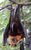 CHIROPTERA - LYLE'S FLYING FOX - PTEROPUS LYLEI - WAT THA SUNG TAKSINARAM - BANG SAI AYUTHAYA PROVINCE THAILAND (54).JPG