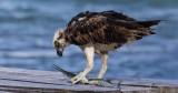 Osprey with a needlefish