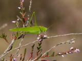 Sprinkhanen en krekels / Grasshoppers and Crickets