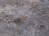 Schorpioenen / Scorpions