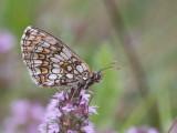 Dagvlinders / Butterflies