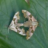 Macro nachtvlinders / Macro Moths