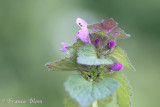 Lamium purpureum - Paarse dovenetel