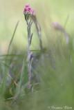 Antennaria dioica - Rozenkransje