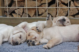 Slapende puppy's bijten niet ...