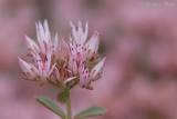 Sedum spurium - Roze vetkruid