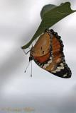 Vlinders in vlinderparken - Butterflies in parcs