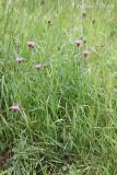 Centaurea jacea - Knoopkruid