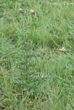 Cirsium arvense - Akkerdistel