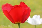 Rode en witte tulp